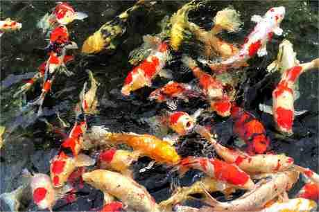 Seerose wanvisa for Teichfische dortmund
