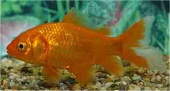 Gartenteichfische for Fische goldfische