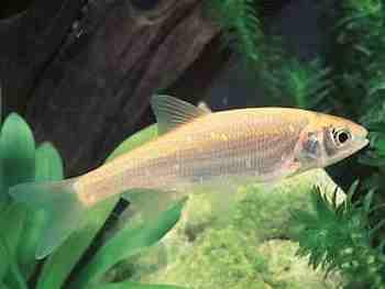 Forum fische ist unser besatz in ordnung for Goldorfe fisch