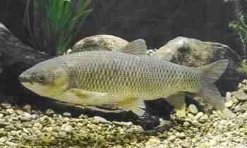 Gartenteichfische for Gartenteichfische arten