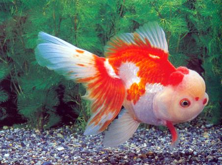 Schleierschwanz und deren zuchtformen oranda rotkopf for Prix poisson rouge tete de lion