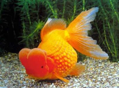 Schleierschwanz Und Deren Zuchtformen Oranda Rotkopf
