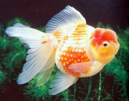 Schleierschwanz und deren zuchtformen oranda rotkopf for Fische in teichen